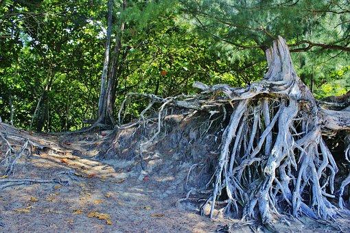 Root, Tree Root, Hanalei, Kauai, Hawaii, Tree, Organic