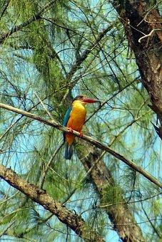 Stork-billed Kingfisher, Casuarina Tree, Perching