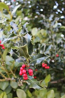 Holly, Red, Berry, Plant, Christmas, Foliage, Green
