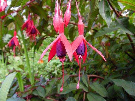 Fuschias, Flower, Pink, Bloom, Blossom, Botany, Plant