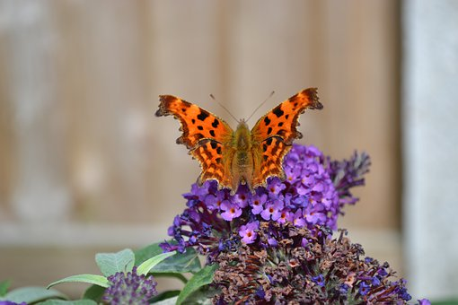 Comma, Butterfly, Insect, Orange, Ragged Wing