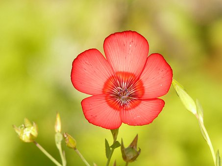 Translucent, Red Lein, Blossom, Bloom, Flower, Red