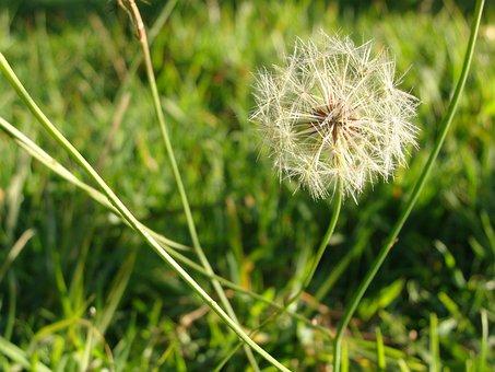 Wish, Flower Dandelion, Seed, Spring, Flower, Nature