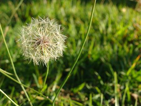 Wish, Flower, Weeds, Dandelion, Spring, Nature