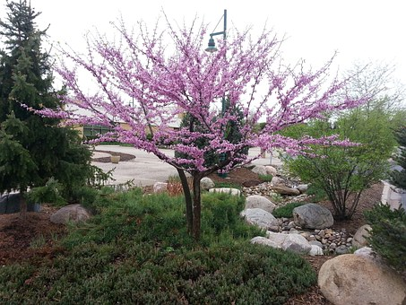Tree, Flowering, Spring, Redbud 'northern Clump