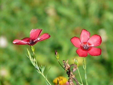 Flowers, Red Lein, Flower, Red, Translucent, Light Red