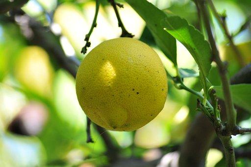 Lemon, Tree, Fruit, Organic, Garden, Ripe, Fresh, Green