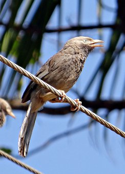 White-headed Babbler, Yellow-billed Babbler