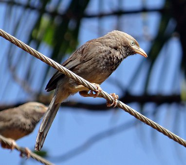 Bird, Babbler, Yellow-billed Babbler, Argya Affinis