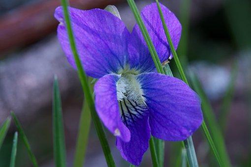 Floral, Purple, Macro, Creeping Charlie, Yard Weed