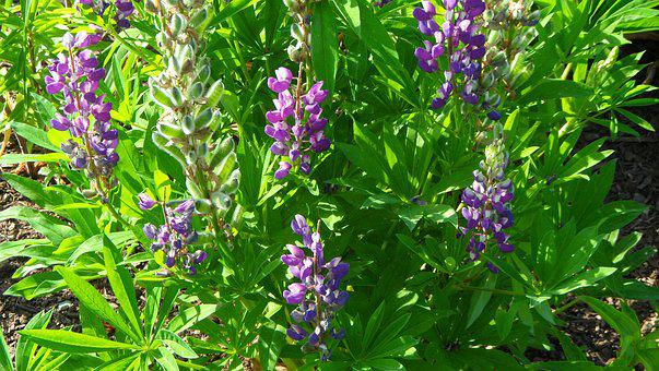 Lupines, Flowers, Garden
