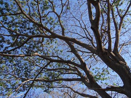 Rain Tree, Tree, Monkeypod, Albizia Saman, Sadhankeri