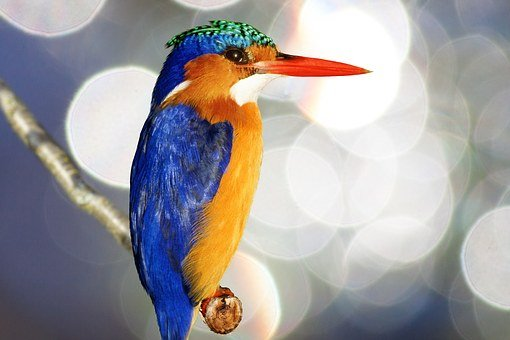 Kingfisher, Alcedo Atthis, Plumage, Colorful, Bird