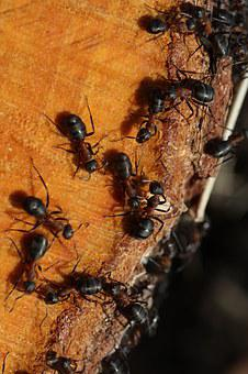 The Anthill, Wood, Ants, Detail, Nature