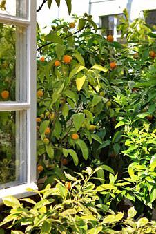 Window, Open, Tree, Oranges, Emerge, View, Green