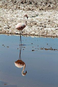 Flamingo, Pink, Atacama Desert, Chile, Animal, Bird