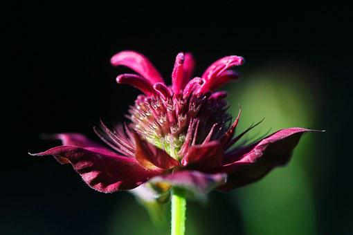 Beebalm, Flower, Purple, Bergamot, Monarda, Herb, Plant