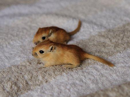 Gerbil, Mouse, 3 Weeks, Nager, Cute, Together, Gerbils