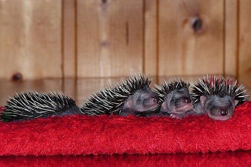 Mammal, Hedgehog, Erinaceus, Young, Baby, 1 Week Old