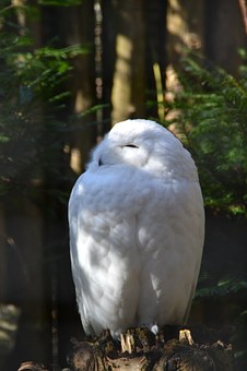 Snowy Owl, Zoo, Bird, Wild Animal, Snow, Nature