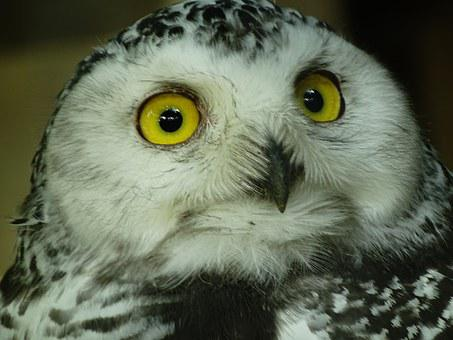 Owl, Zoo, Way, Snowy Owl, Face, Night Active, Nature