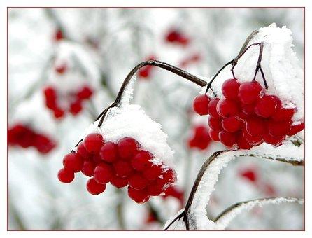 Berry, Berries, Berry Red, Tree Fruit, Winter, Snow