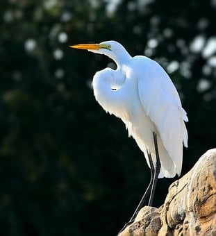 Snowy Egret, Egret, Perched, Bird, Wader, Shore Bird