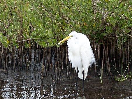 Snowy Egret, Bird, Wildlife, Nature, Florida, Birds
