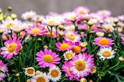 Chrysanthemum, Pink, Blossom, Bloom, Plant, Macro