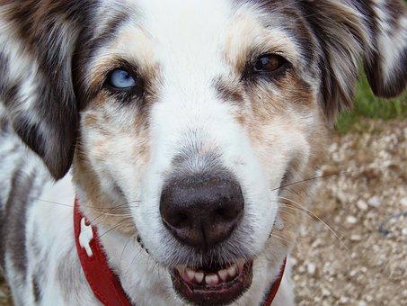 Australia Sheperd, Dog, Blue Merle, Animal Portrait