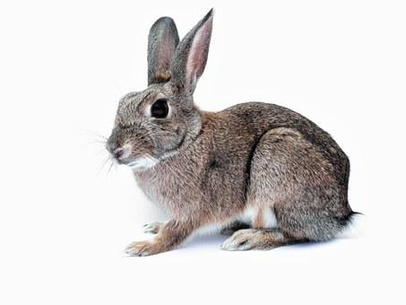 Rabbit, Bunny, Pet, Cute, Isolated, White, Background