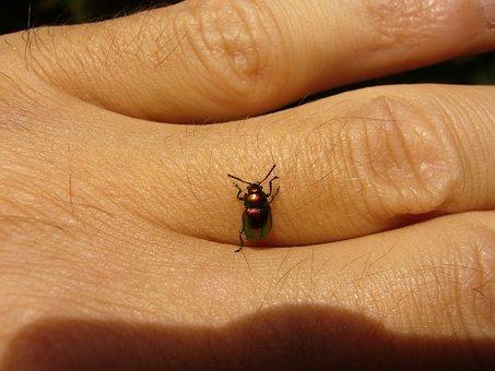 Chrysomela Varians, John's Wort Blattkäfer, Beetle