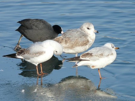 Gulls, Bird, Animal, Creature, Cold, Stand, One, Ice