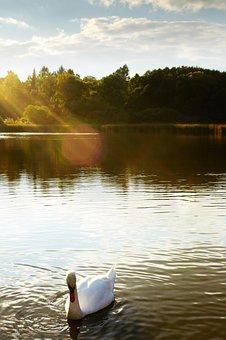 Swan, Lake, Pond, Surface, Water, Area, Bird