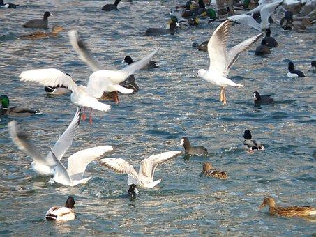 Gulls, Ducks, Coots, Water, Scrum, Feeding