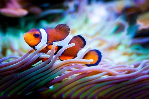 Fish, Aquarium, Nemo, Clownfish, Sea, Reef, Exotic