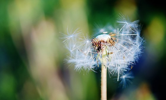 Sow Thistle, Grass, Summer, Background, Beautiful