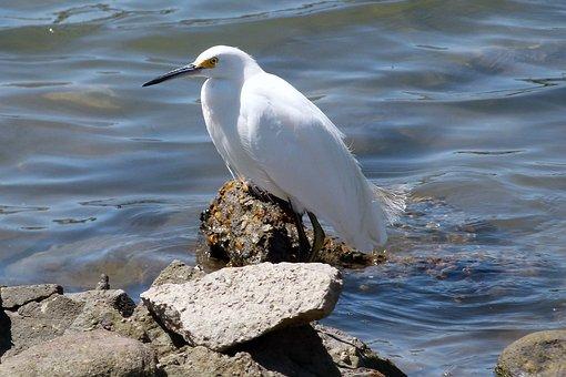 Snowy Egret, Waterbird, White, Animal, Feathered
