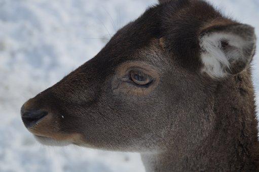 Roe Deer, Fallow Deer, Wild, Winter, Snow, Winter Fur