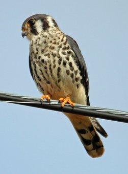 Falcon, American Kestrel, Kestrel, Bird, American