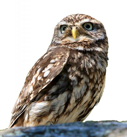 Owl, Bird, Isolated, White, Background, Little Owl
