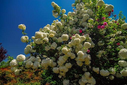 White, Bloom, Blooming, Blossom, Botanical, Botany