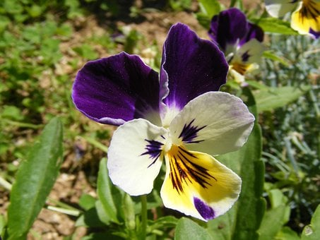 Pansy, Flowers, Blossoms, Blooms, Blooming, Purple