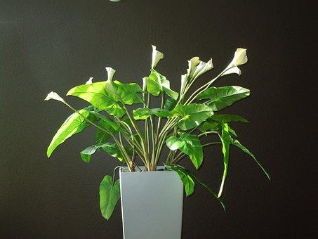 Calla, Calla Lily, Lily, Flower, Bloom, Nature, White
