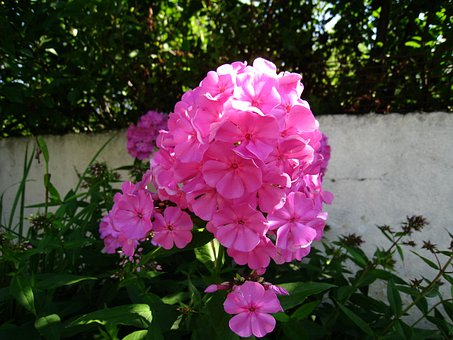 Flowers, Pink, Color, Summer, Sunshine, Wall, Garden