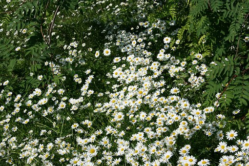 Daisies, Daisy, Flowers, White, Green, Leaves, Plants