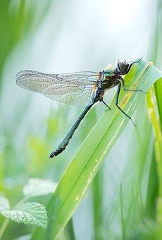 Three Aenea, Hawk Dragonfly, Common Emerald, Fresh Male