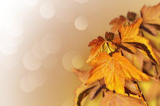 Maple, Tree, Leaves, Autumn, Fall, Seasons, Seasonal