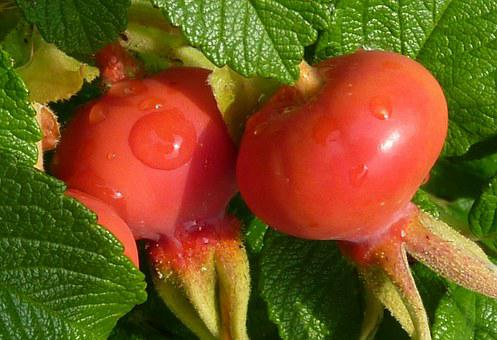 Rose Hip, Rose Apples, Red, Plant, Fruit, Haegen, Heép