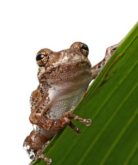 Frog, Macro, Close-up, Portrait, Details, Amphibian